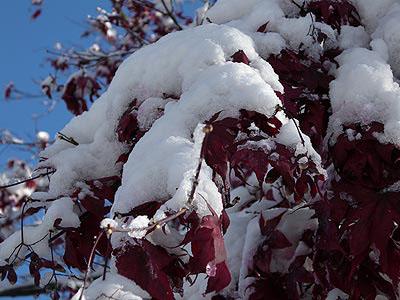 snow-maple.jpg