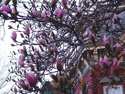 050414_magnolias.jpg