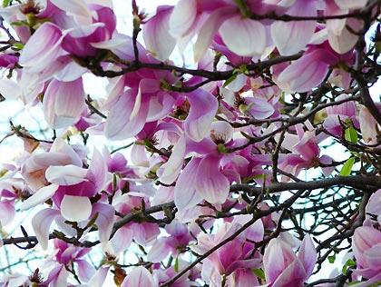 050421_magnolias.jpg