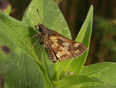 Peck's Skipper butterfly
