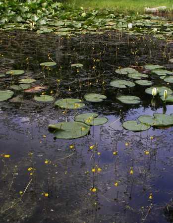 Swollen Bladderwort in pond